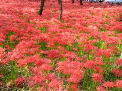 曼珠沙華の赤いじゅうたん