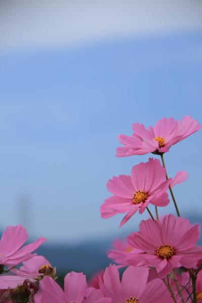 三重 亀山のコスモス畑
