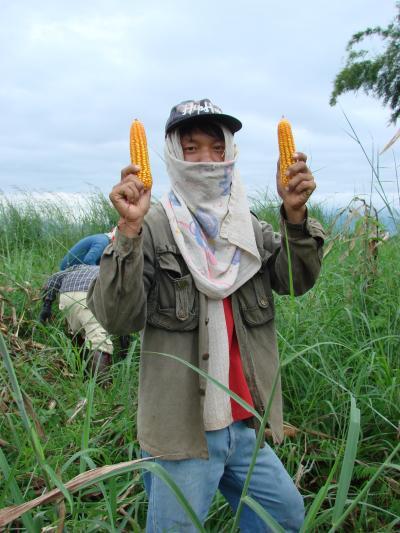 チェンマイ徒然草 其の百九十五 トーモロコシの収穫