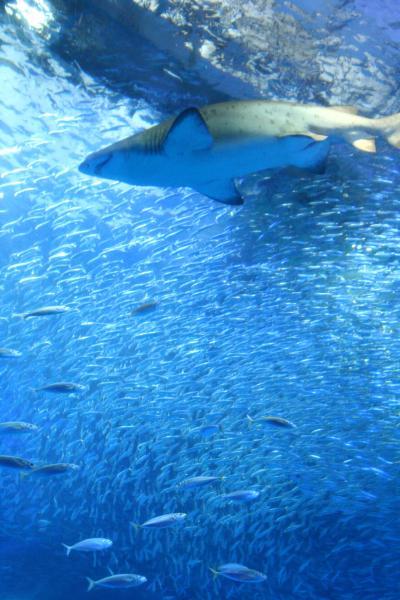 イルカもサメにもふれあえる!八景島シーパラダイス
