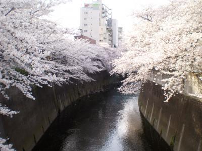 神田川桜(早稲田)