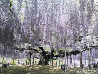 藤の花(足利フラワーパーク)