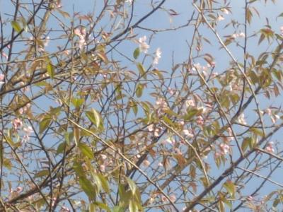 ダージリンに桜はあった。