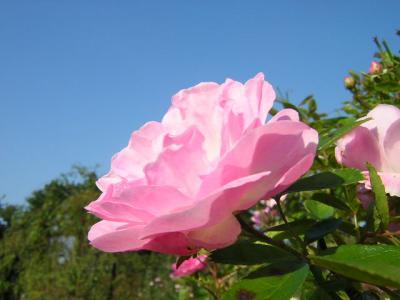 石津川から浜寺へそして秋の薔薇園