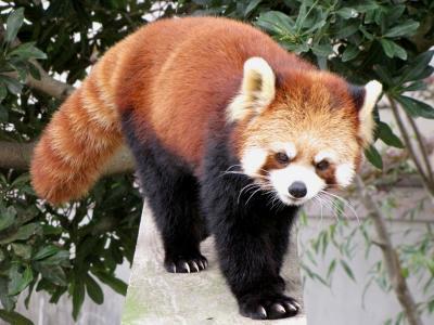 晩秋のレッサーパンダ紀行 大牟田市動物園