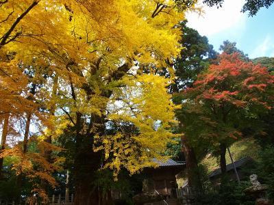 ★黄金色に輝く雷山神社の大銀杏