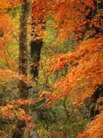 2010年11月12日 箱根仙石原の長安寺の紅葉は、見ごろになり始めています。