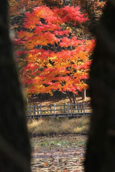 ひとり旅 [817] 自然探勝路に咲く豊かな色彩のカエデ<瀬戸内海国立公園'極楽寺山~蛇の池'>広島県廿日市市