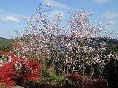 紅葉と桜のコラボが見たいと城峯公園へ