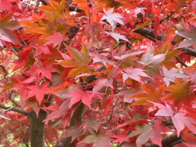 日帰り散歩:10年以上ぶりの大山。大山寺の紅葉が見頃。