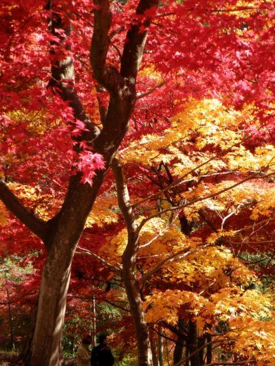 全山燃えるように赤く染まる最上山公園もみじ山