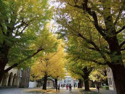 東大の本郷キャンパスで銀杏の黄葉
