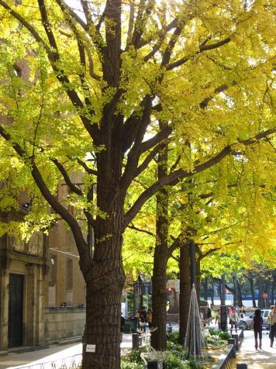 【横浜】日本大通りの銀杏並木 黄葉は今が盛り…(その1)