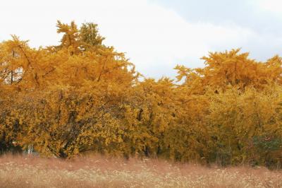 2010秋、祖父江町の公孫樹の黄葉(3):11月28日(3):公孫樹の黄葉、公孫樹の苗木畑、夏ミカン、菊、鶏頭