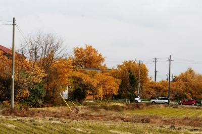 2010秋、祖父江町の公孫樹の黄葉(4:完):11月28日(4):公孫樹の黄葉、ザクロの実、夏ミカン、百日草