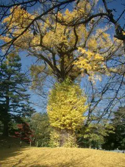 御苑の紅葉もまたすばらしい。木々が大きい。