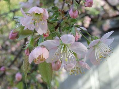 都内でヒマラヤ桜探し