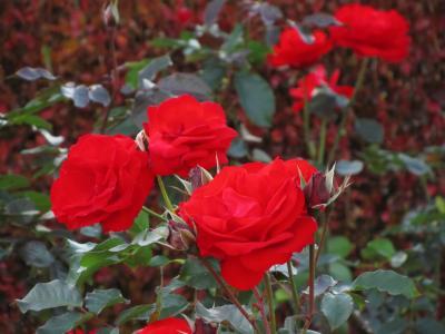 けぶるような錦秋の新宿御苑(3)紅葉と一緒の晩秋のバラと日没の影絵のような世界
