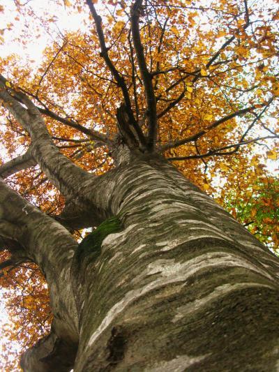 白神山地09 岳岱自然観察教育林 森林浴に最適 ☆黄葉に輝くブナ林で