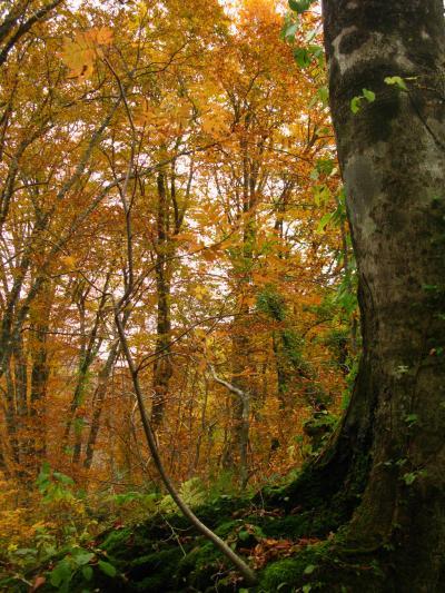 白神山地10 岳岱のブナ林 苔むす岩を抱く ☆ 落葉・初雪が舞いおりて