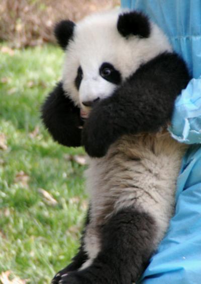 パンダに会いに中国へ 2010.12 四川省 成都パンダ基地&雅安碧峰峡&上海