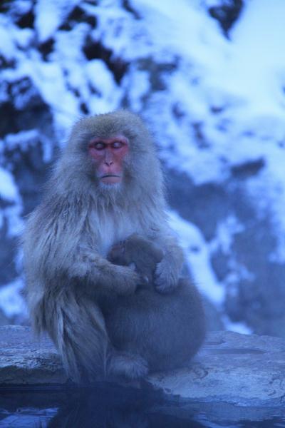 2011・01 お正月 温泉に入るさるを見に行こう ①