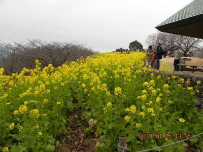 吾妻山公園の菜の花を見に