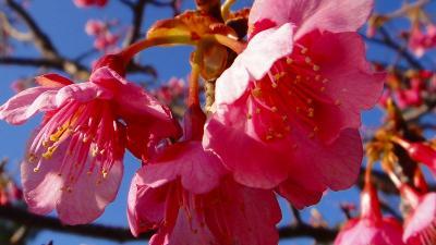 伊豆土肥桜の花見・・・土肥温泉・松原公園