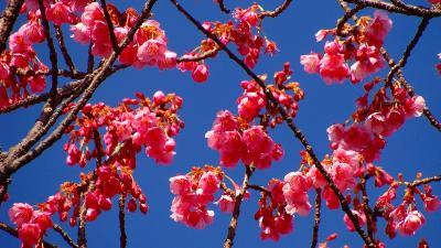 伊豆土肥桜の花見・・・土肥温泉・萬福寺