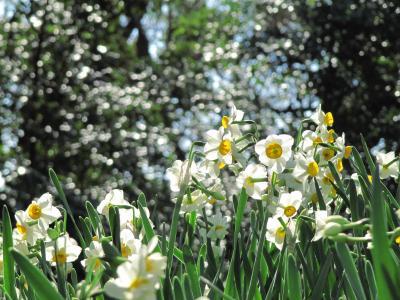 ひと足早くに春を求めて埼玉からはるばる湘南の吾妻山公園へ(2)光あふれるスイセンの路