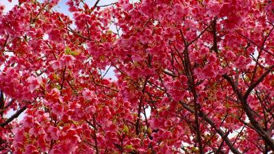 丸山スポーツ公園の伊豆土肥桜
