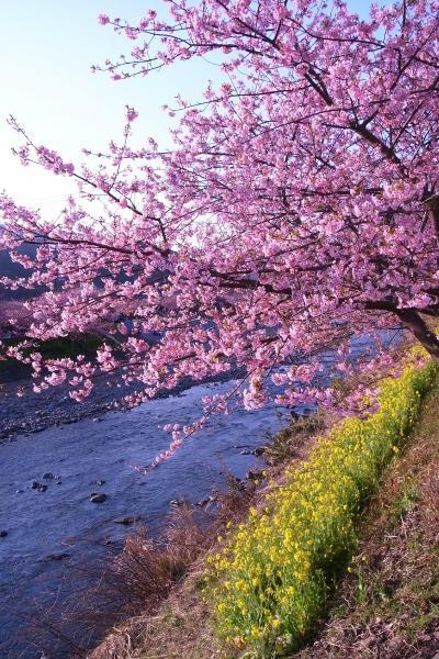 満開の河津桜お散歩デート~2011.2.26~