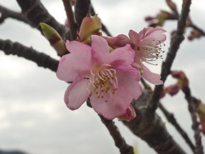 さわやかウォーキング 函南 桜ウォーキング