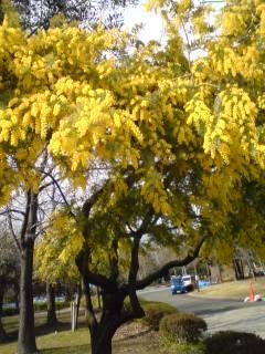 木場公園~ミモザ満開 2011