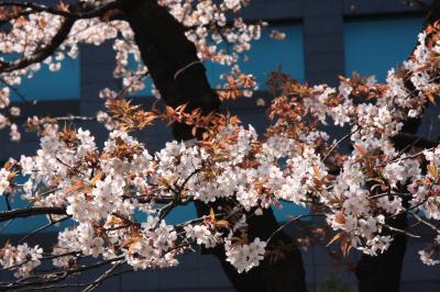 小さな旅 千鳥が淵の桜の風景 View of sakura in Chidorigafuchi Moat