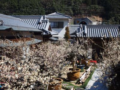 金熊寺梅林と盆梅庭園