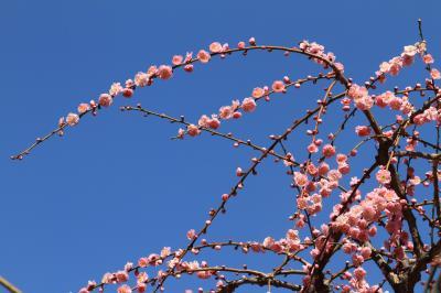 春を告げる満開の梅 「しだれ梅と椿まつり」 ~城南宮~