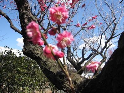 花と緑の振興センター(川口安行)の梅林☆2011/03/04