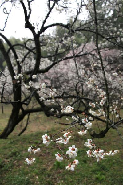 Solitary Journey [869] 枝の張る様が全国でも大変珍しい梅老樹 <国指定天然記念物:余田臥龍梅>山口県柳井市