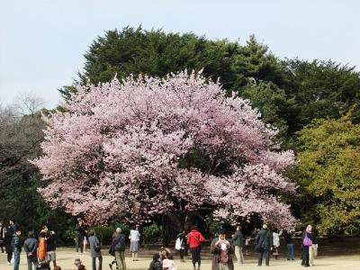 新宿御苑で桜