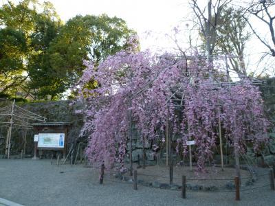 もうすぐ咲くかな?和歌山城の桜