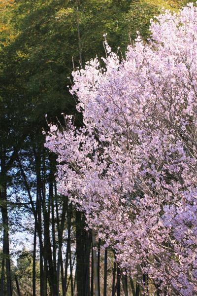 蜻蛉池(とんぼいけ)公園 岸和田市 辺り一面真っ白のユキヤナギを求めて・・・