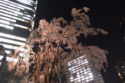 赤坂サカスで夜桜