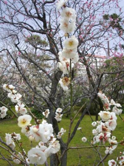 11/04 春を探しに梅の花を見に行きました@白山公園@