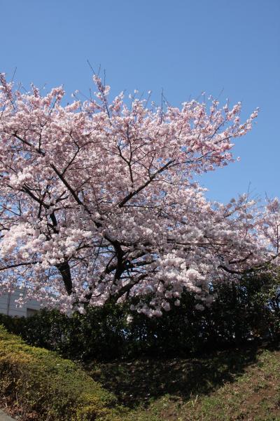 2011小手指のポトマック桜 Potomac Sakura in Kotesashi