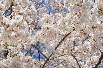 もうすぐ満開、毛馬・桜ノ宮公園の桜