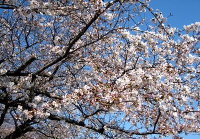 東中野(東京)の桜