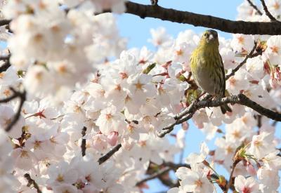 【大阪桜2011】 春の花三昧 「大阪城」
