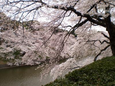 2011千鳥が淵 桜(さくら祭り中止)