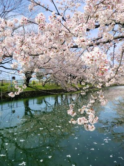 名古屋周辺さくら情報(4月9日、10日)